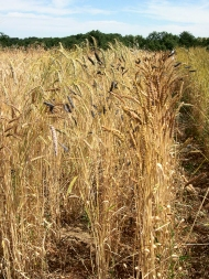 Old wheat varieties. Photo: RSP